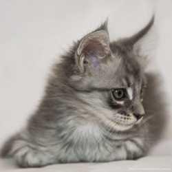 Котята .Мейн кун.AS24. 3