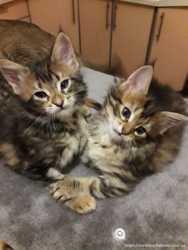 Котята Мейн-кун 2 девочки 2