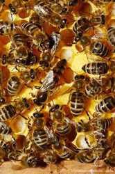 Пчелосемьи на дадановскую рамку. 3