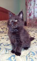 Котята Мейн-кун 3