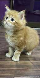 Продам котят породы мейнкун