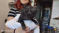 Карликовый свинки, мини пиг для дома - малыши 3