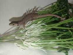 Жемчужная ящерица. Lacerta lepida (Timon lepidus) 3