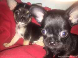 Продам самых красивых щеночков чухуахуа мальчик и девочка очень умные