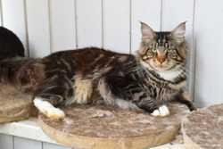 мраморный котенок Волли 3