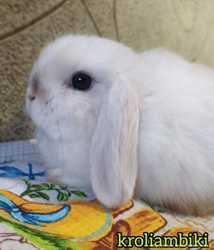 Карликовые цветные кролики/вислоухие баранчики MiniLop/NHD 1