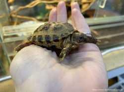 Ручная сухопутная черепаха 2