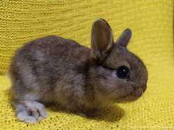 Карликовые цветные кролики,вислоушкиМиниЛоп/Nhd