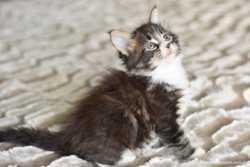 Кошечка мейн кун 2