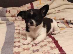 Чихуахуа мальчик щенок