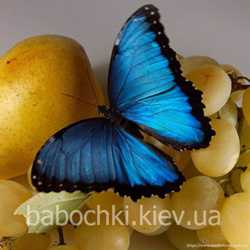 Продажа живых тропических бабочек для праздников, салютов, подарков. 2