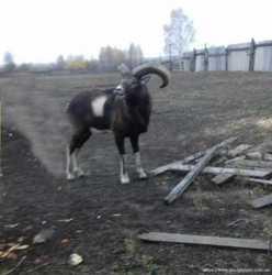 Продам взрослого красивого горного козла Capra для мини зоопарка 1