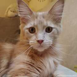 Кошка мейн-кун кремовая 2