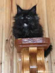 Замечательные котята породы Мейн Кун! 2