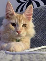 Котята Мейн-кун/ Maine Сoon с документами WCF