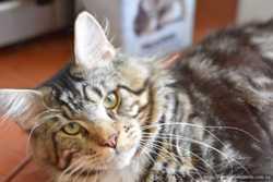 мраморный котенок Волли 1
