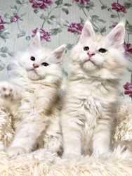Мейн Кун.Котята Мейн Кун гиганты