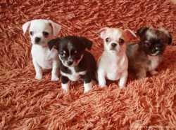 Маленькі собачки чіхуахуа