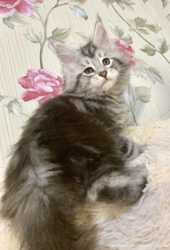 Мейн Кун.Котята Мейн Кун гиганты 3