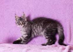 Питомник Мейн-кунов предлогает котят