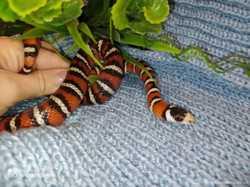 Королевская змея пиромелана. Ручные. Lampropeltis pyromelana pyromelan 1