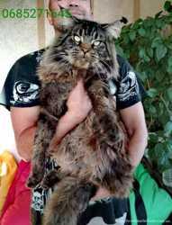 19 кошенят мейн-кун чемпіонські крові 2