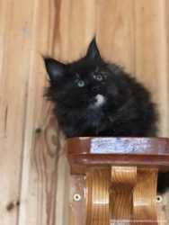 Замечательные котята породы Мейн Кун! 3
