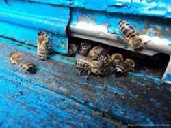 Пчелосемьи на дадановскую рамку. 2