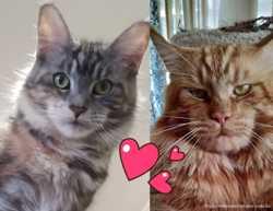 Настоящие породные котята мейн-кун 2