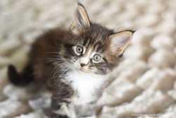 Кошечка мейн кун 1