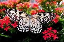 Бумажный змей - живая бабочка для подарка на свадьбу. 3
