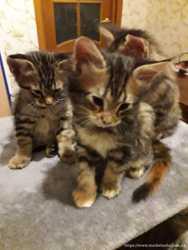 Котята Мейн-кун 2 девочки 3