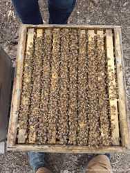 Продам Пчелосемьи: 3 шт-Бакфас, 9 шт-Карника и 5 шт-Украинка. Днепр