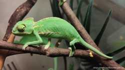 Ящерица экзот хамелеон йемен 1,5 мес и старше 3