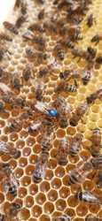 Пчеломатки Бакфаст Одесса 3